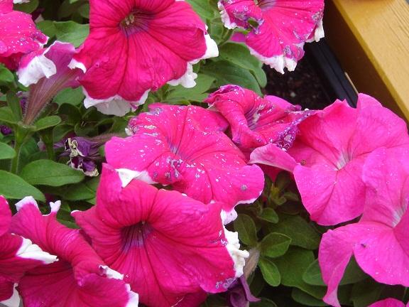 växter som träffas av fulstopp förlorar klorofyllen där dom träffas